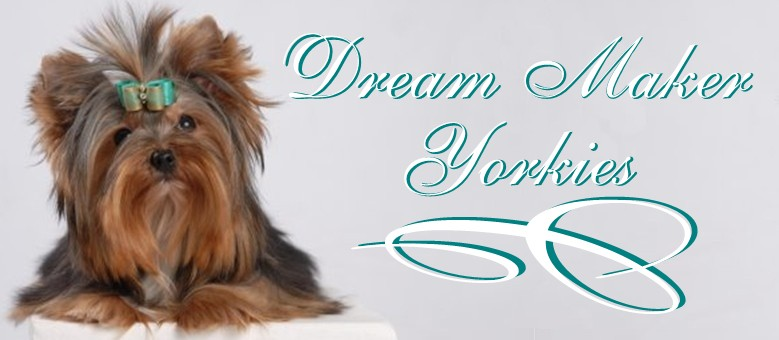 Teacup Yorkie Breeders Puppies For Sale In Louisiana Dream Maker
